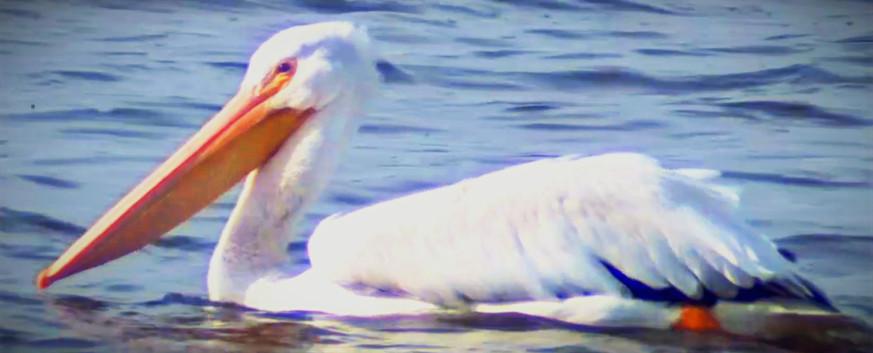 Pelican A