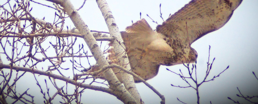 Red-Tailed Hawk B - Launch