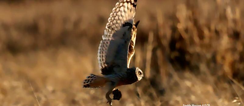 Short-Eared Owl - April 1 2021