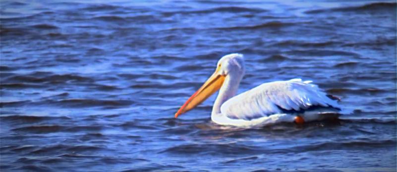 Pelican B