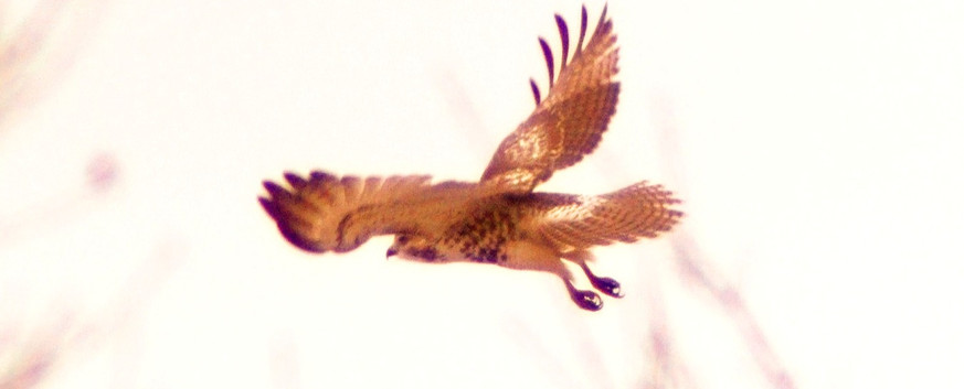 Red-Tailed Hawk - Approach