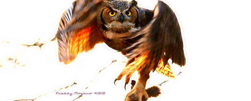 Adult Female Great Horned Owl In Flight With Food