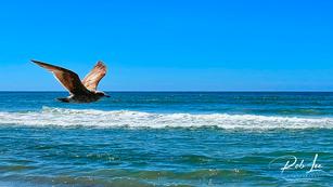 Cruising Western Gull