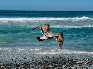 Landing Western Gull