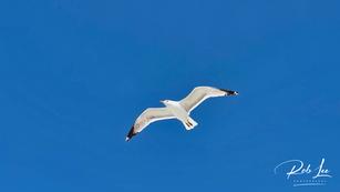 Regal California Gull