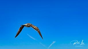 Departing Western Gull