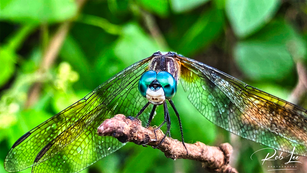 Dragonfly on Watch