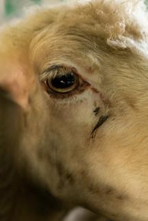Chèvre - Apremont