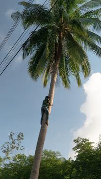 Palmier - Thaïlande