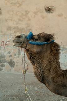 Dromadaire - Maroc