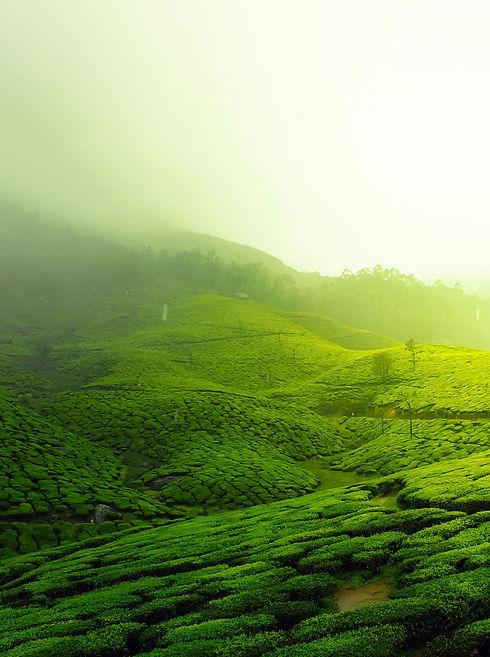 tea-plantation-2220475_1922.jpg