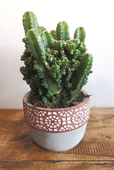 Cactus in Ceramic Pot