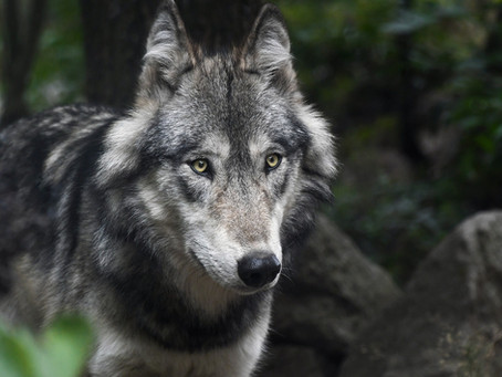 Massive Grey Wolf Loves His Human