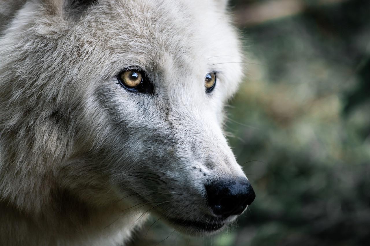 wolf-4483675_1280.jpg