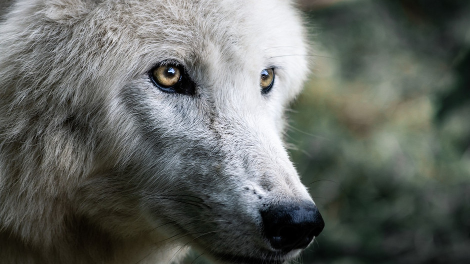 Dogs Vs. Wolves: What's the Difference?