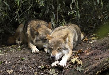 wolf-1384944_1280.jpg