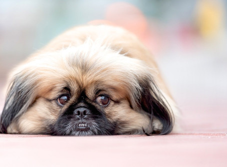 Which Dog Breeds Don't Shed? The Best Dog Breeds for Those With Allergies