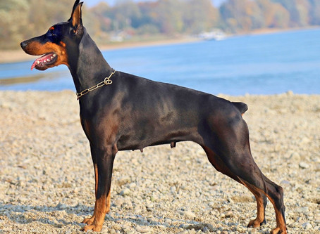 What is the Smartest Dog Breed?
