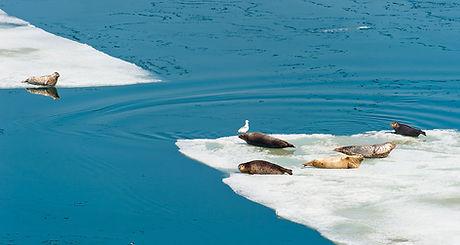 Grandi Sigilli su Iceberg