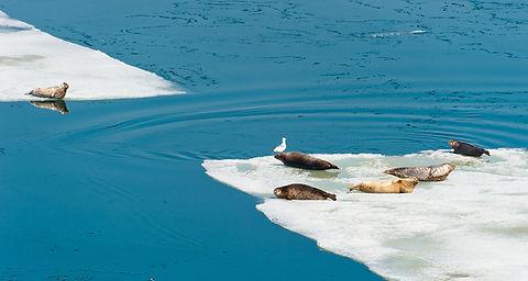 Large Seals on Iceberg