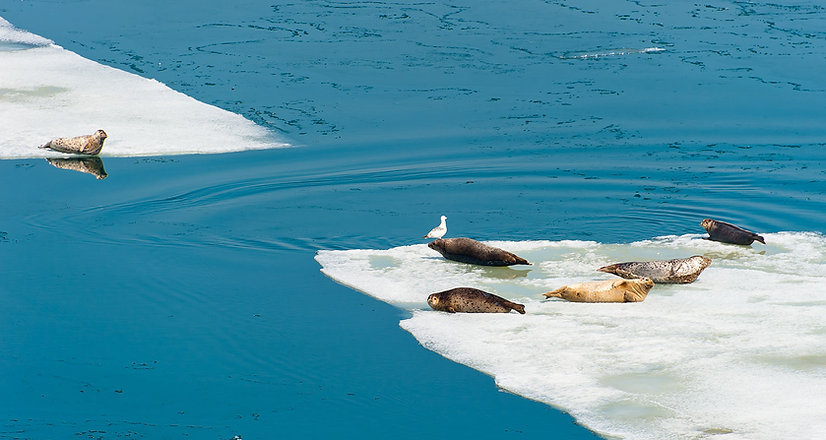 Large Seals on Iceberg