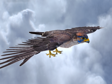 soaringFalcon.png