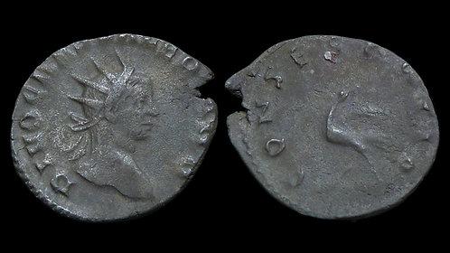 VALERIAN II, Caesar . AD 256-258 . Antoninianus . Scarce Consecratio type