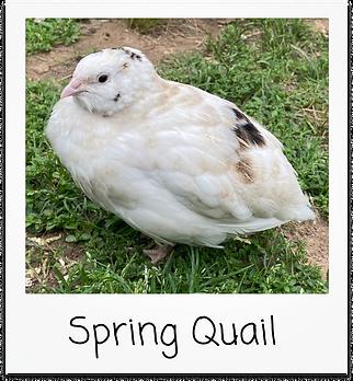 Spring Quail.png