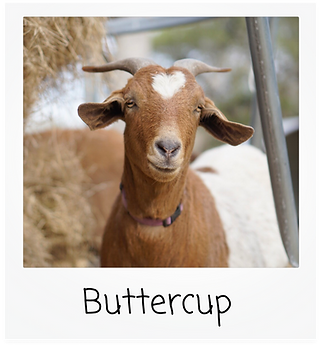 buttercup.png