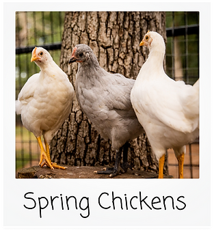 Spring Chickens.png