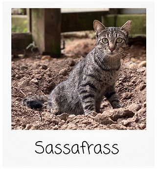 sassafras.png
