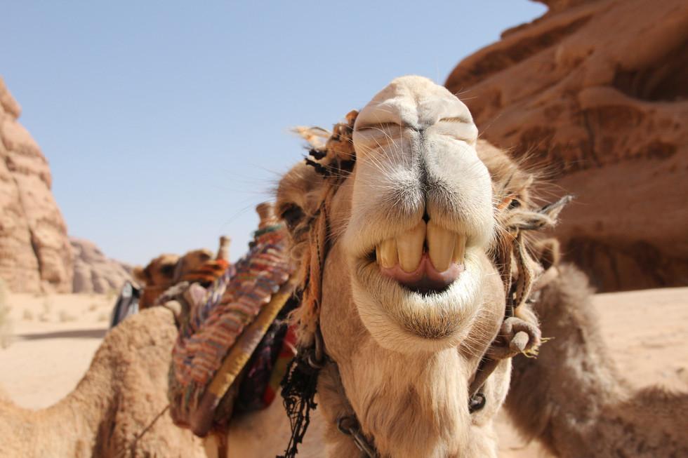 Sourire du chameau