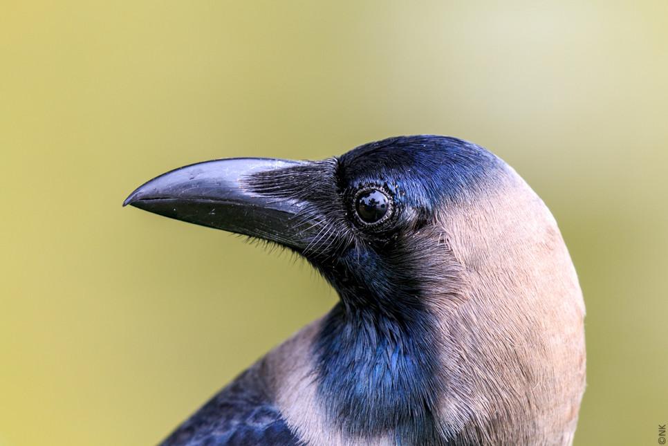 modeling crow-1.jpg