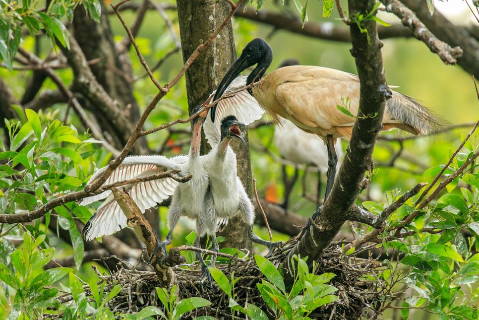 ibis babies-3.jpg