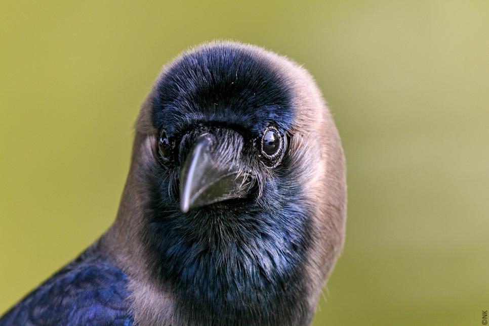 modeling crow-4.jpg