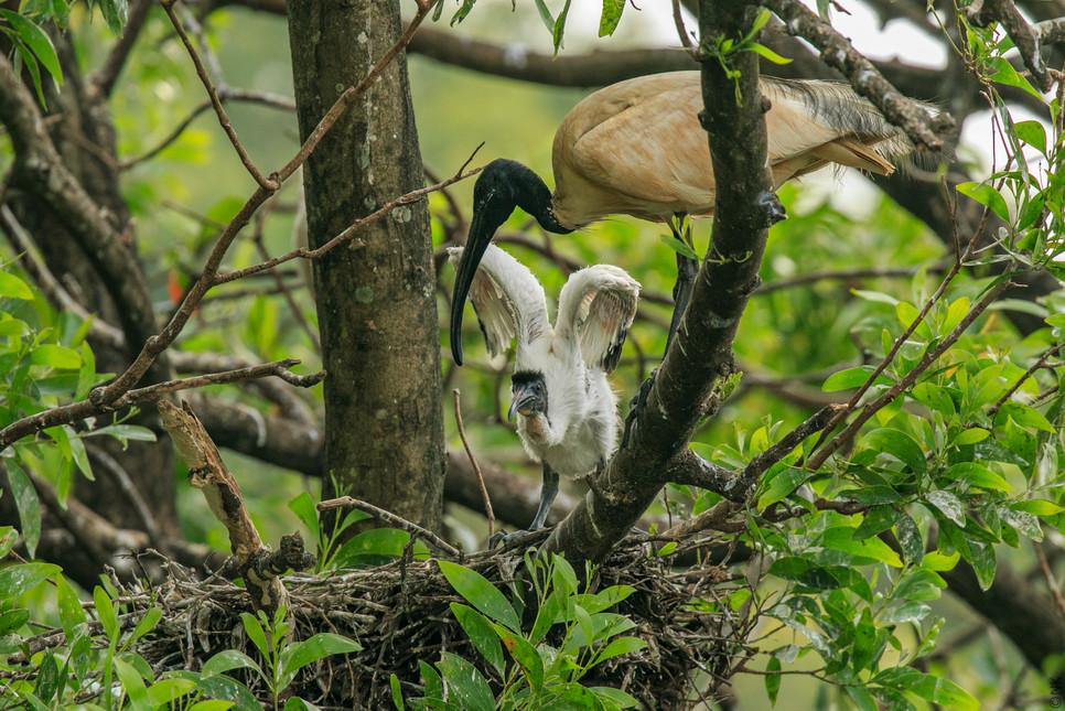 ibis babies-7.jpg