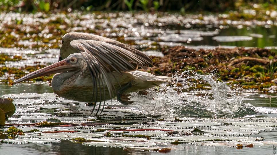pelican hunt-1.jpg