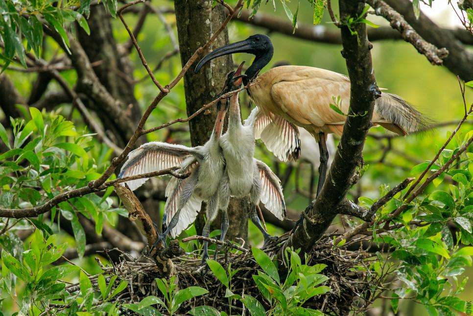ibis babies-4.jpg