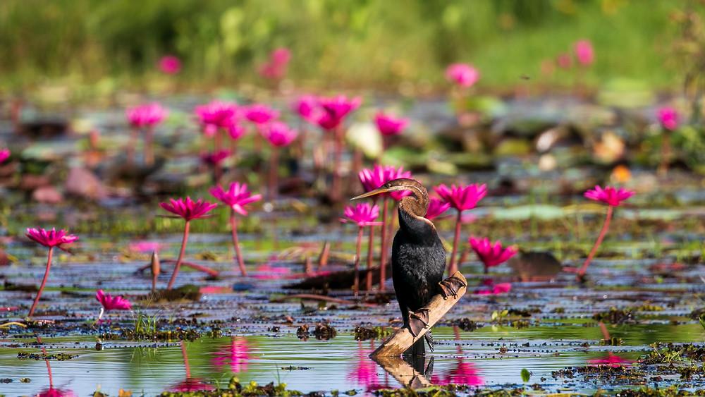 Oriental Darter among the beautiful water lilies. Thalangama Lake. Sri Lanka.