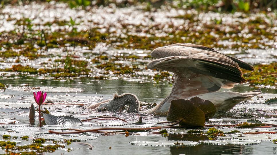 pelican hunt-3.jpg