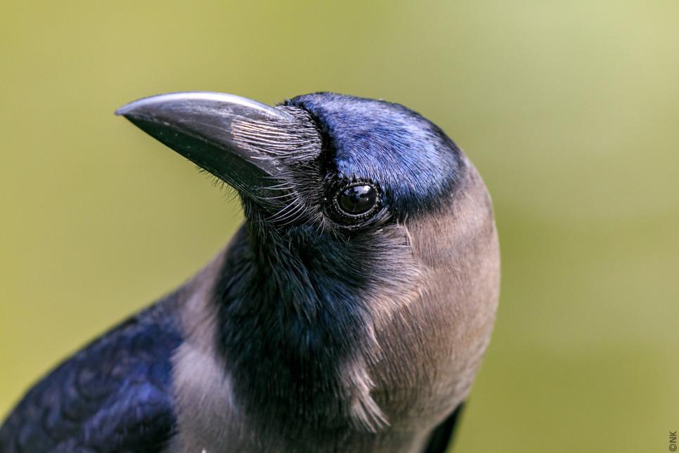 modeling crow-3.jpg