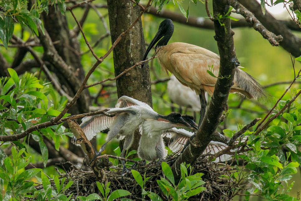 ibis babies-2.jpg