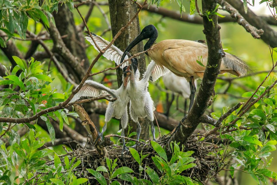 ibis babies-1.jpg
