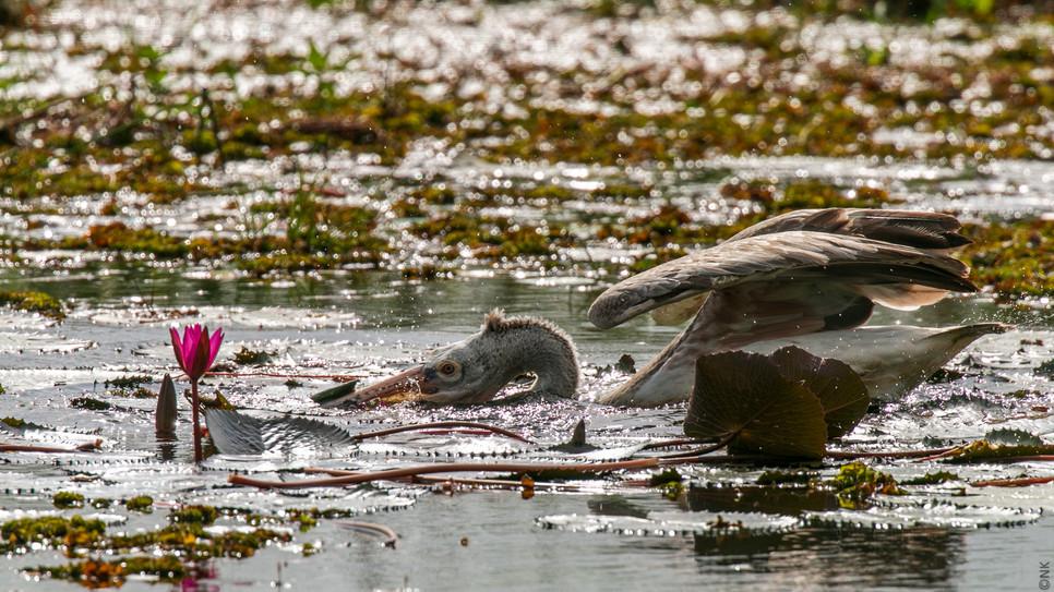 pelican hunt-4.jpg