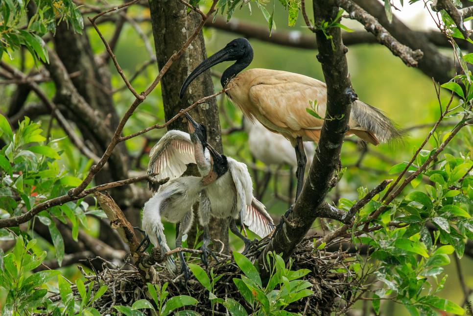 ibis babies-6.jpg