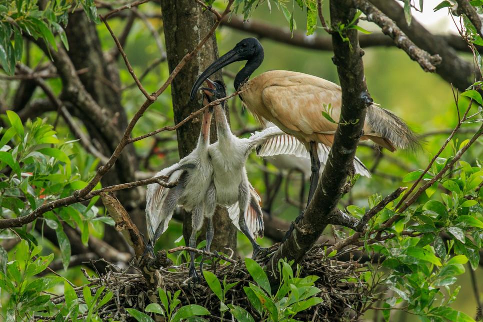 ibis babies-5.jpg
