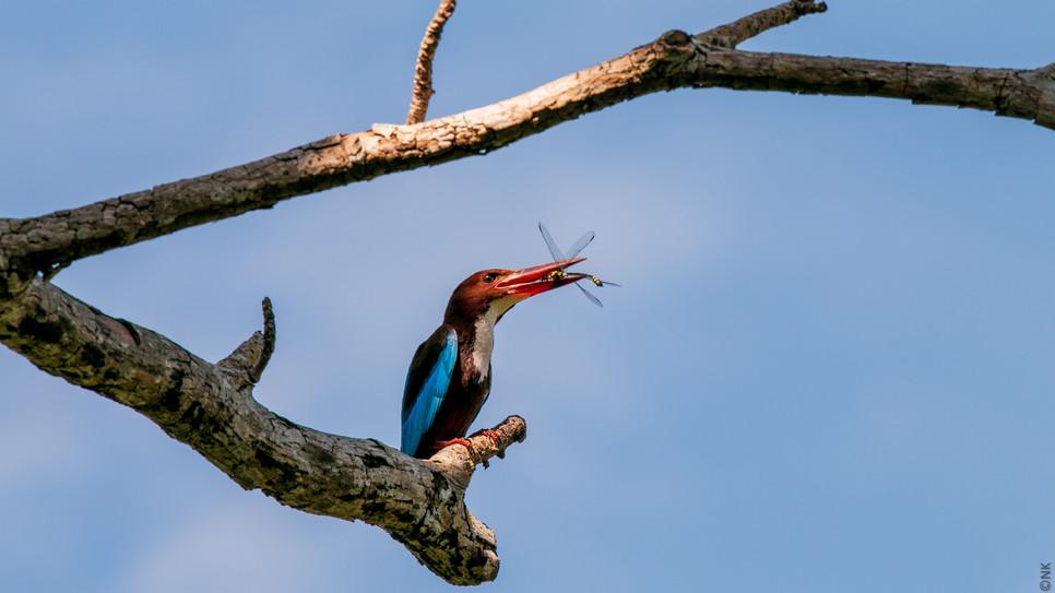 kingfisher-3.jpg