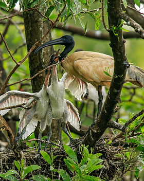 ibis-1.jpg