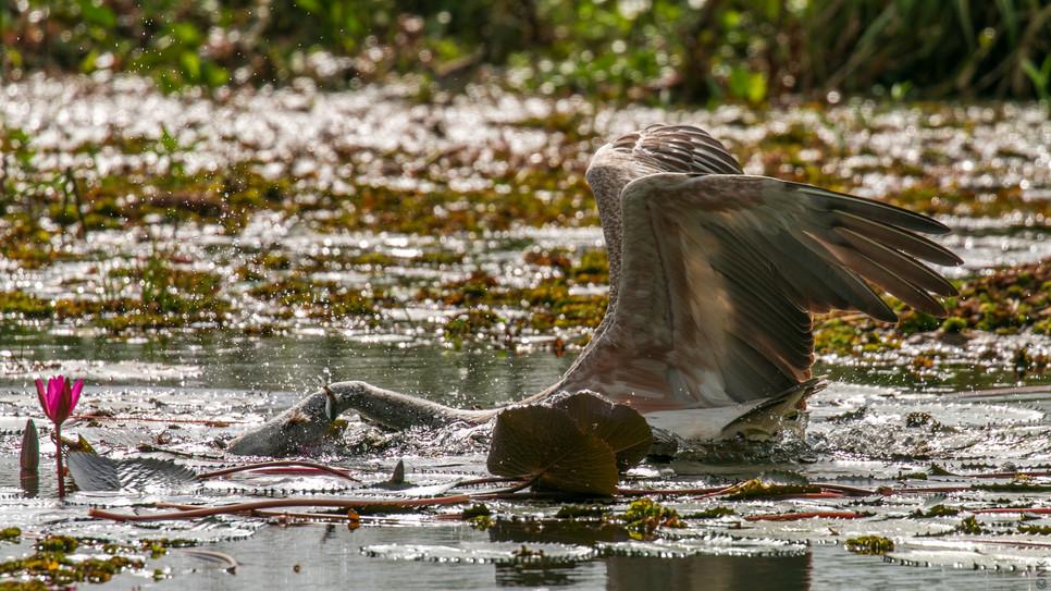 pelican hunt-2.jpg