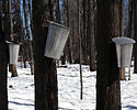 2011-03-13-maple-syrup-buck.jpg